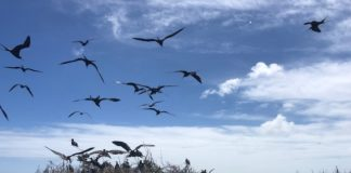 Frigate Bird Sanctuary, Barbuda