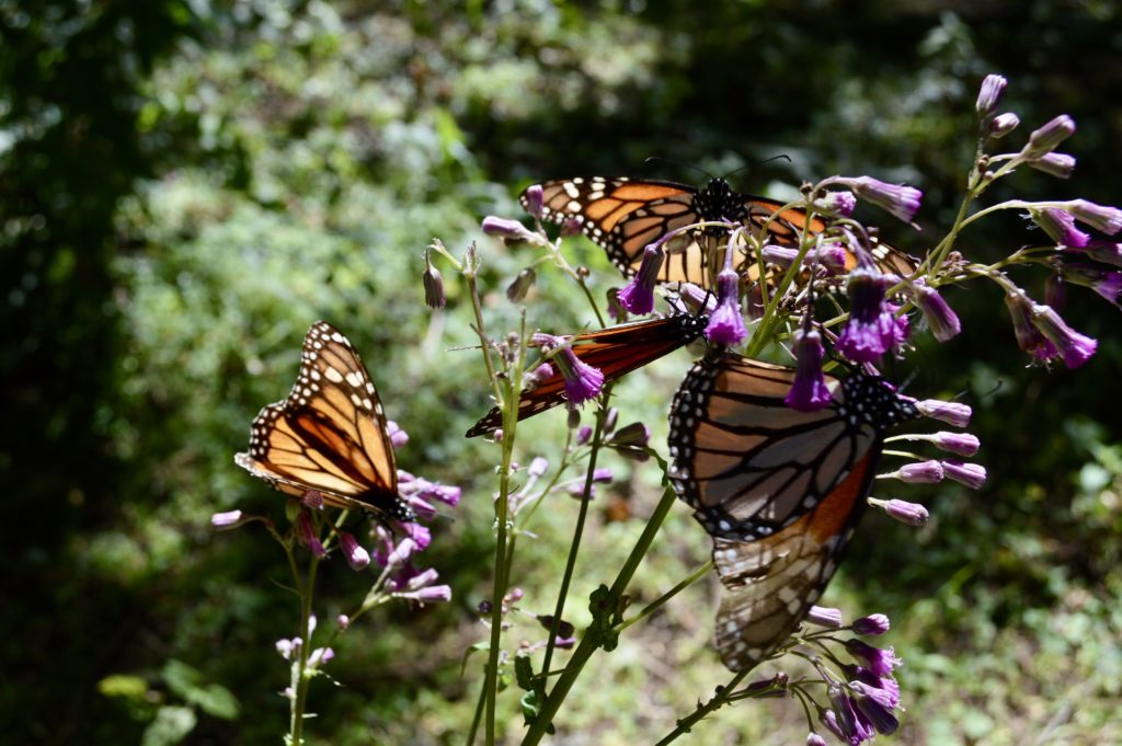 monarch migration sanctuary mexico