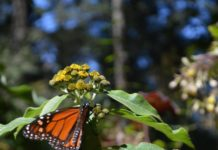 Monarch butterfly sanctuary